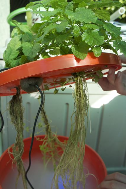 Aeroponicly grown roots