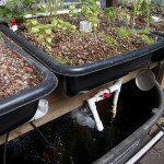 Aquaponics: fish tank and some of the planters