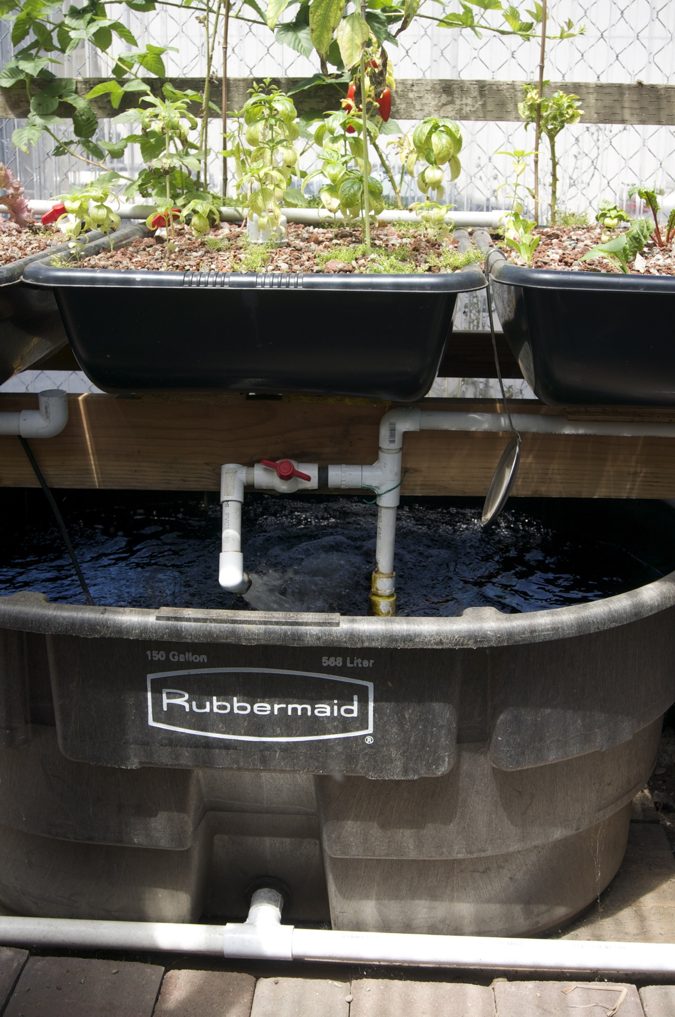 Aquaponics outreach visit with rick frey tribe awesome for Best fish for aquaponics