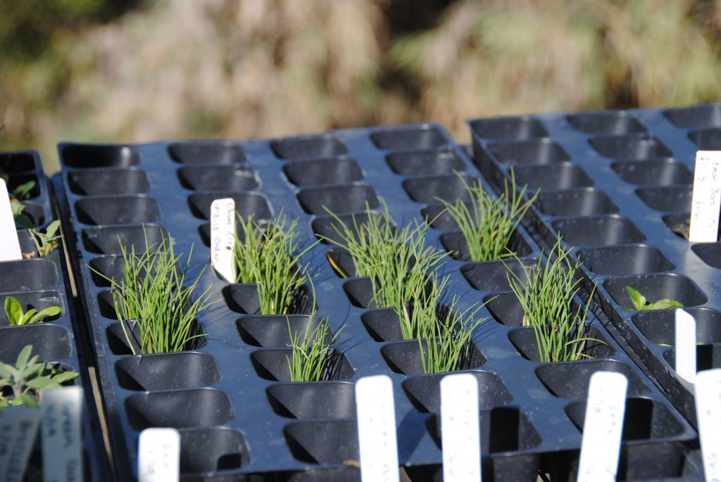 Chapala Gardens - Seedlings